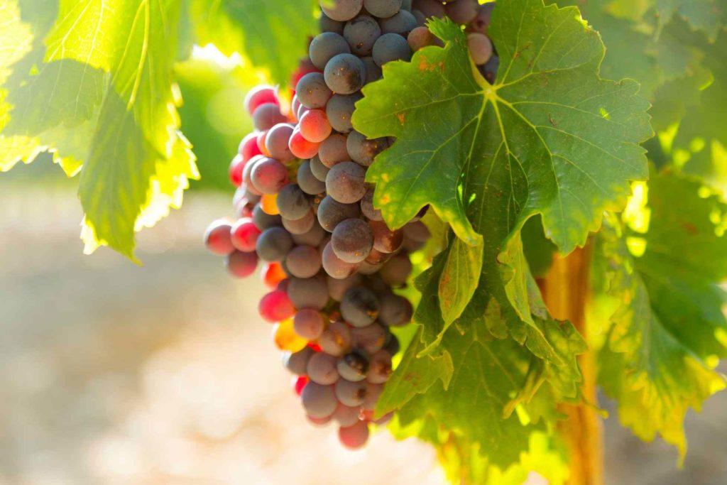 瑞士紅葡萄葉萃取物